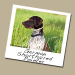German Shorthaired Pointer Dog Breed