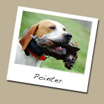 Pointer Dog Breed
